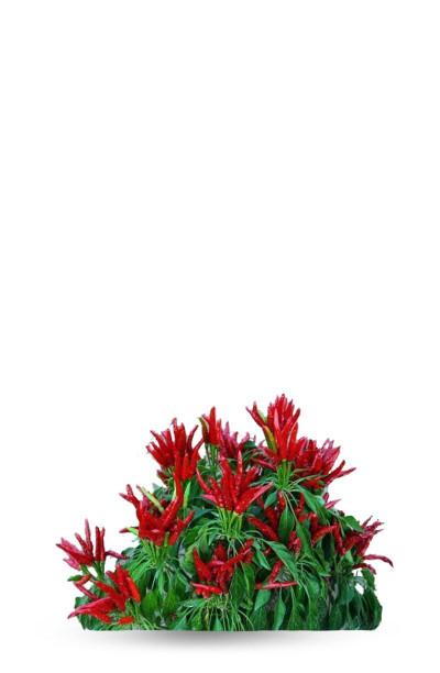 Rooster Spur plant de piment