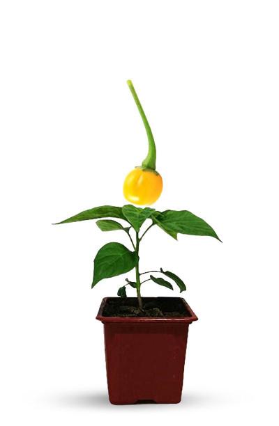 adoptez un plant de piment Aji Charapati