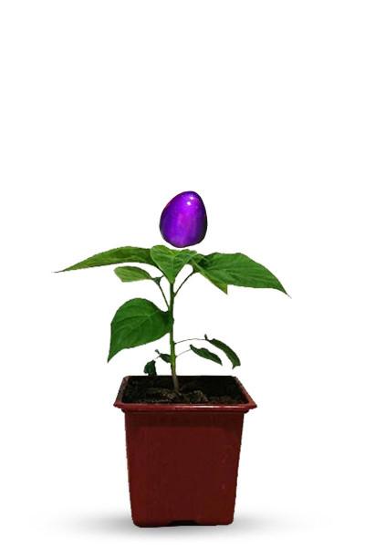 plant piment violet