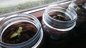 plant-piments
