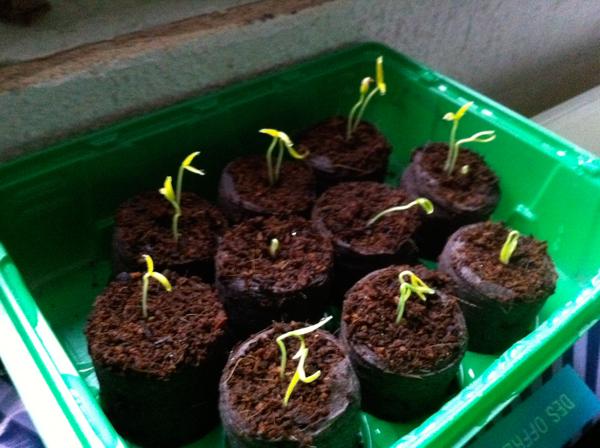 plant piment